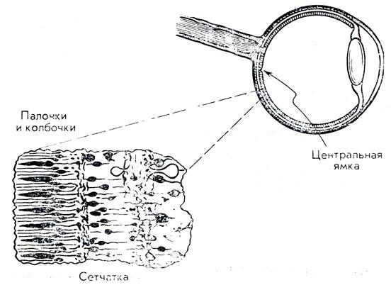Рис. 78. Структура сетчатки глаза